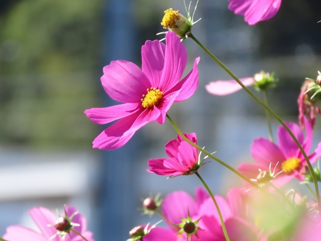 咲き誇るコスモス畑(撮影:11月3日)_e0321325_11273305.jpg