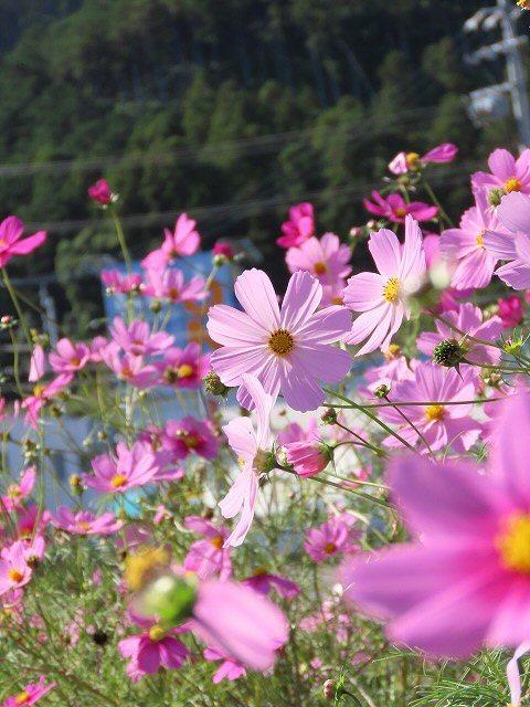 咲き誇るコスモス畑(撮影:11月3日)_e0321325_11274542.jpg
