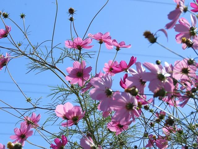 咲き誇るコスモス畑(撮影:11月3日)_e0321325_11284582.jpg