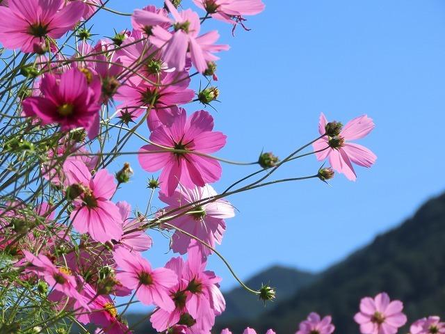 咲き誇るコスモス畑(撮影:11月3日)_e0321325_11291539.jpg