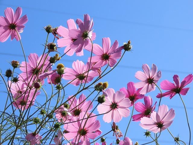 咲き誇るコスモス畑(撮影:11月3日)_e0321325_11292815.jpg