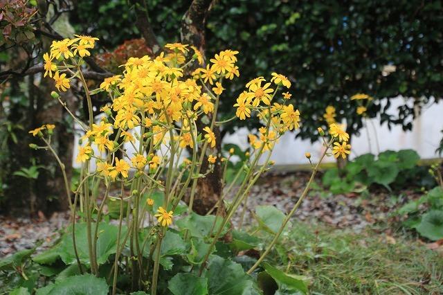 ツワブキの花満開(撮影:11月7日)_e0321325_19042426.jpg