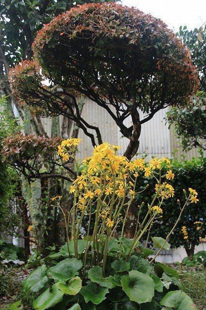 ツワブキの花満開(撮影:11月7日)_e0321325_19045235.jpg