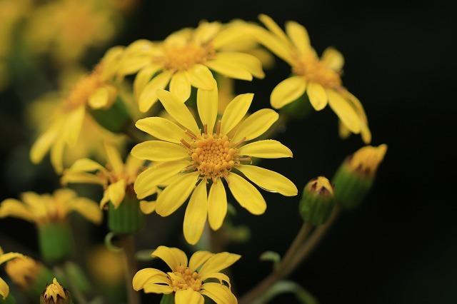 ツワブキの花満開(撮影:11月7日)_e0321325_19050602.jpg