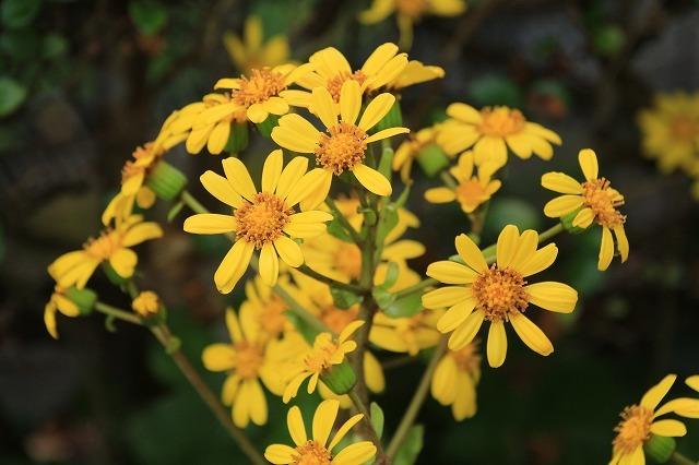 ツワブキの花満開(撮影:11月7日)_e0321325_19054204.jpg