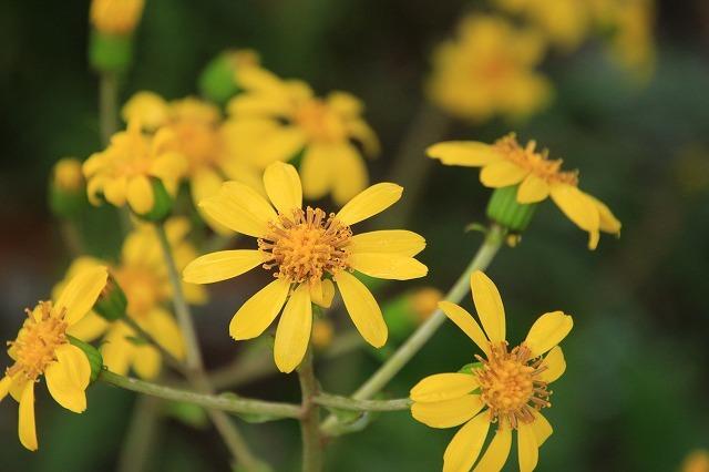 ツワブキの花満開(撮影:11月7日)_e0321325_19060535.jpg