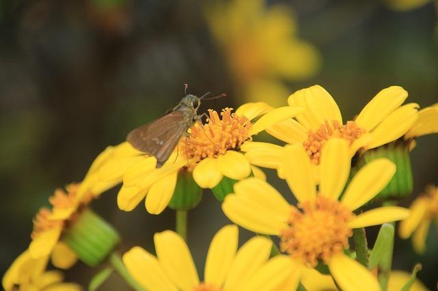 ツワブキの花満開(撮影:11月7日)_e0321325_19061624.jpg