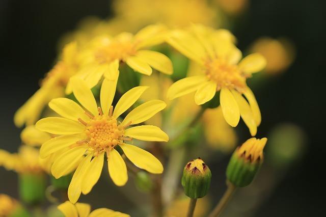 ツワブキの花満開(撮影:11月7日)_e0321325_19062816.jpg