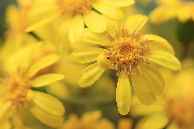 ツワブキの花満開(撮影:11月7日)_e0321325_19064302.jpg