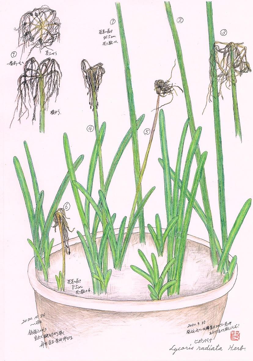 第120回11月(霜月) 花が終わったヒガンバナ   _b0199122_05270907.jpg