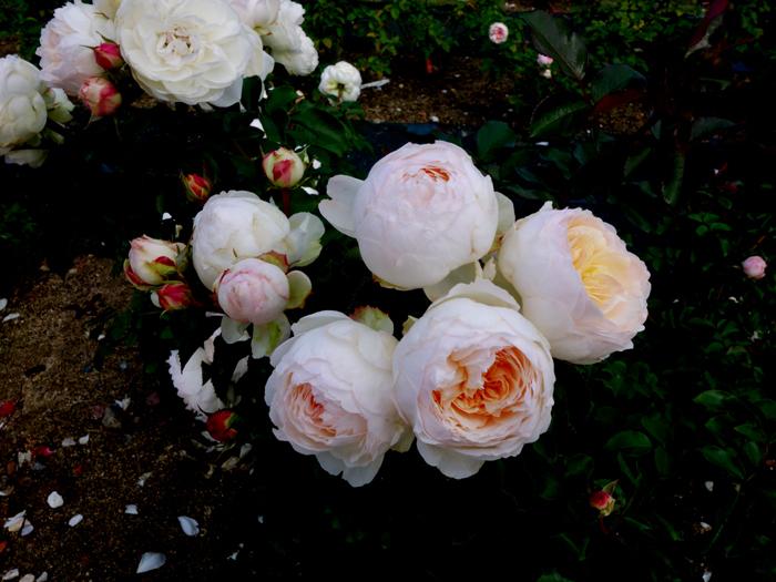 万博記念公園薔薇園へ2★白薔薇_a0383340_10585326.jpg