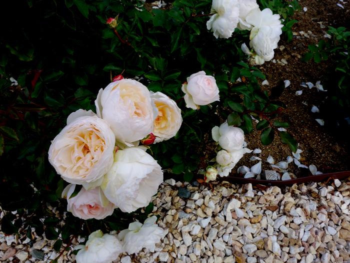 万博記念公園薔薇園へ2★白薔薇_a0383340_10590769.jpg