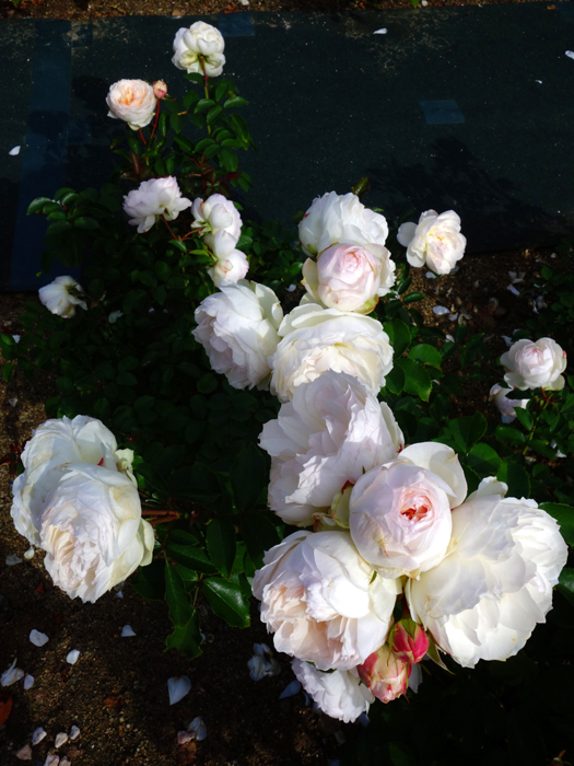 万博記念公園薔薇園へ2★白薔薇_a0383340_10592136.jpg