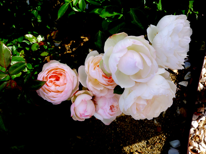 万博記念公園薔薇園へ2★白薔薇_a0383340_10594481.jpg