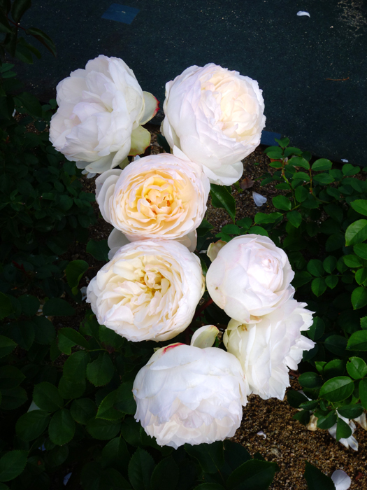 万博記念公園薔薇園へ2★白薔薇_a0383340_11000128.jpg