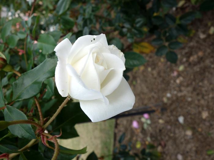 万博記念公園薔薇園へ2★白薔薇_a0383340_11001715.jpg