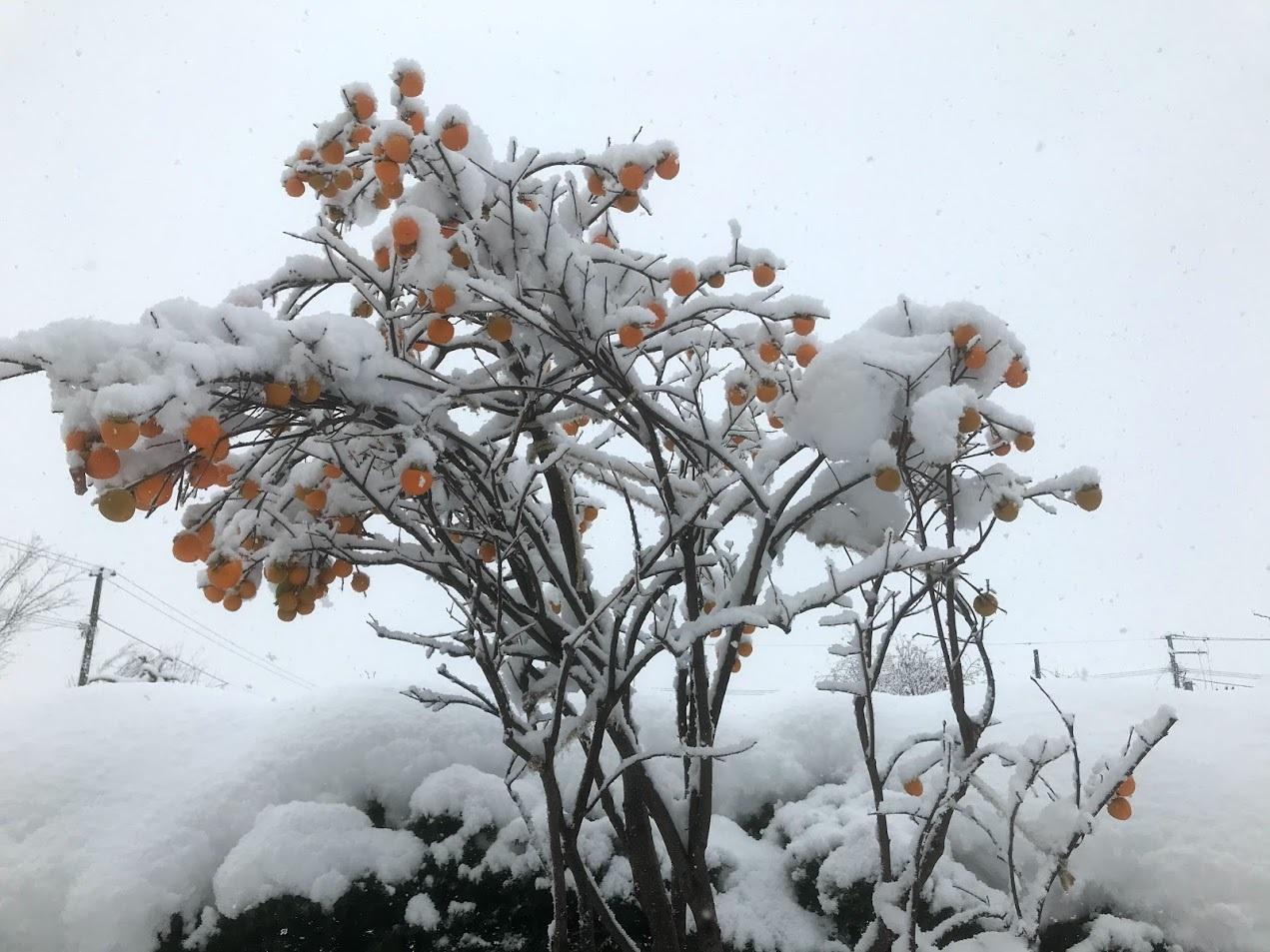 初雪2020、母宅の柿_c0189970_08135004.jpg