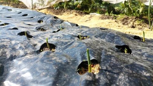 玉葱苗を植えました。_c0300035_19413085.jpg