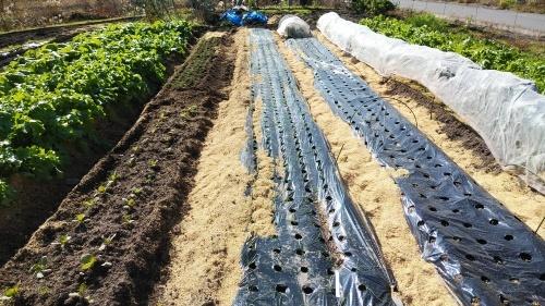 玉葱苗を植えました。_c0300035_19435157.jpg