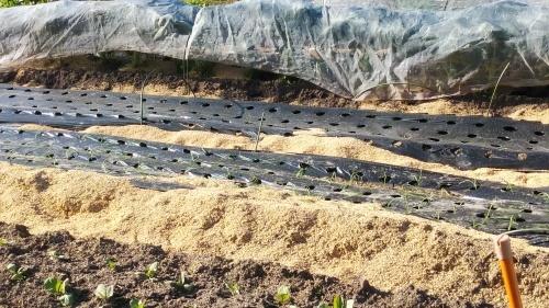 玉葱苗を植えました。_c0300035_19500227.jpg