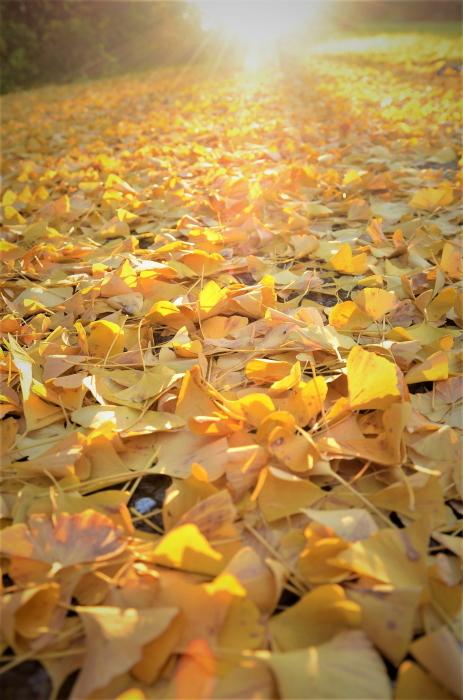 銀杏散る夕陽の丘_f0045844_09243869.jpg