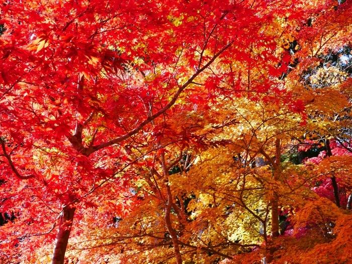 紅葉の高野山へ 5 蛇腹道の紅葉 2020-11-18 00:000_b0093754_22363285.jpg