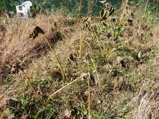 自然農の畑 11月上旬~中旬_d0366590_16442824.jpg