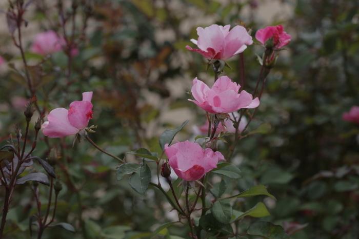 万博記念公園 バラ園_b0043304_00424247.jpg