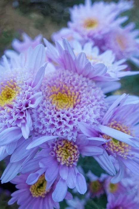 ■Myファーム便り【今菊祭り状態になり 花束にして皆さんにお届けしています♪】_b0033423_20343735.jpg