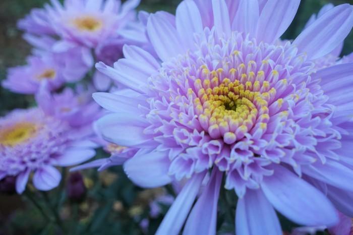 ■Myファーム便り【今菊祭り状態になり 花束にして皆さんにお届けしています♪】_b0033423_20345210.jpg