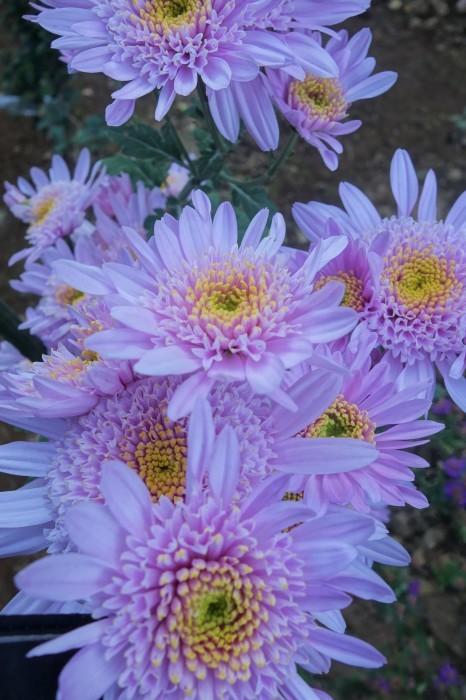 ■Myファーム便り【今菊祭り状態になり 花束にして皆さんにお届けしています♪】_b0033423_20354483.jpg