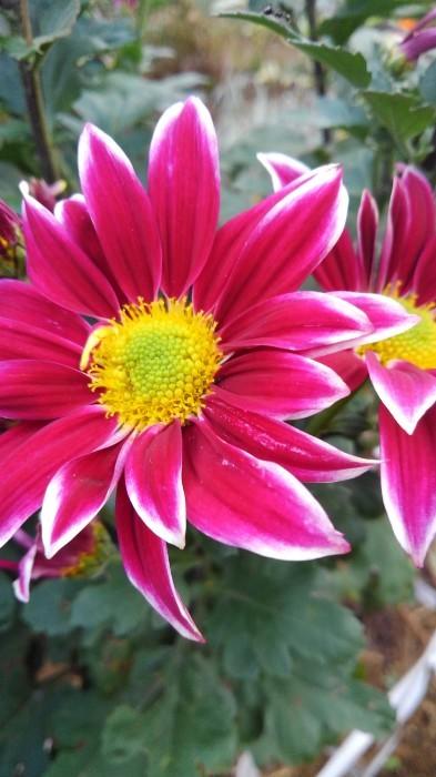 ■Myファーム便り【今菊祭り状態になり 花束にして皆さんにお届けしています♪】_b0033423_20373693.jpg