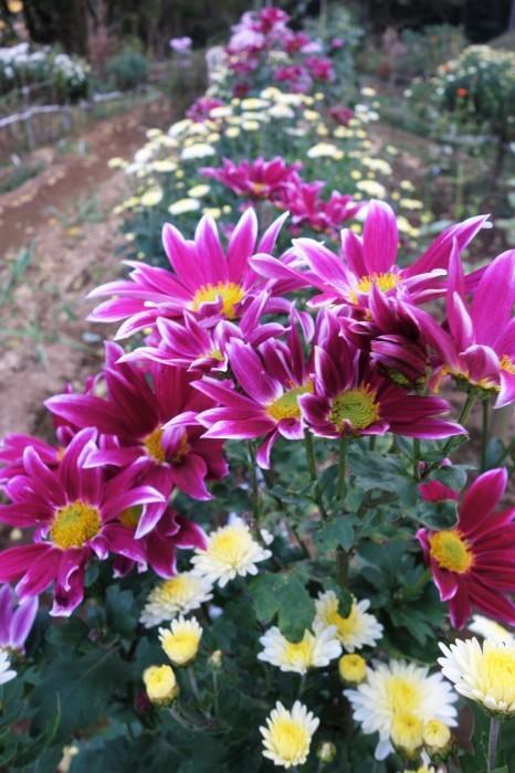 ■Myファーム便り【今菊祭り状態になり 花束にして皆さんにお届けしています♪】_b0033423_20375122.jpg
