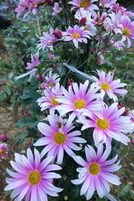 ■Myファーム便り【今菊祭り状態になり 花束にして皆さんにお届けしています♪】_b0033423_20390197.jpg