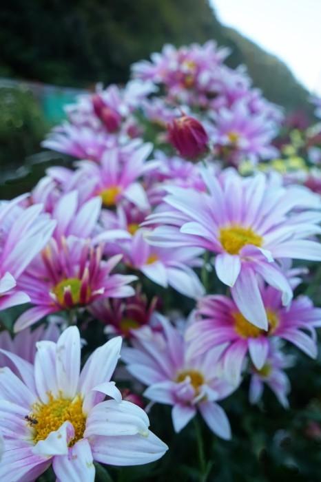 ■Myファーム便り【今菊祭り状態になり 花束にして皆さんにお届けしています♪】_b0033423_20391948.jpg