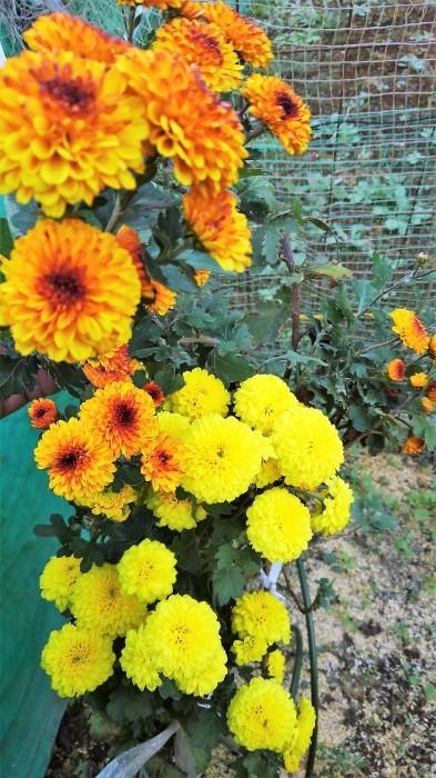 ■Myファーム便り【今菊祭り状態になり 花束にして皆さんにお届けしています♪】_b0033423_20393837.jpg