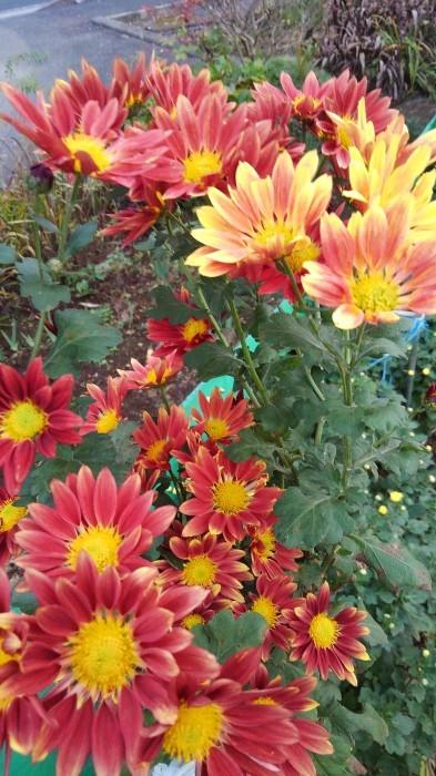 ■Myファーム便り【今菊祭り状態になり 花束にして皆さんにお届けしています♪】_b0033423_20400773.jpg