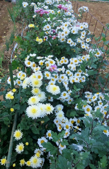 ■Myファーム便り【今菊祭り状態になり 花束にして皆さんにお届けしています♪】_b0033423_20414000.jpg
