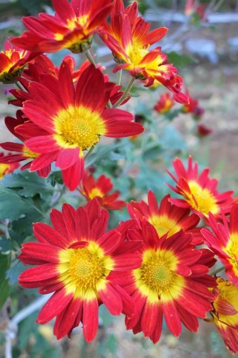 ■Myファーム便り【今菊祭り状態になり 花束にして皆さんにお届けしています♪】_b0033423_20430856.jpg