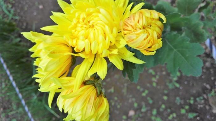 ■Myファーム便り【今菊祭り状態になり 花束にして皆さんにお届けしています♪】_b0033423_20433503.jpg