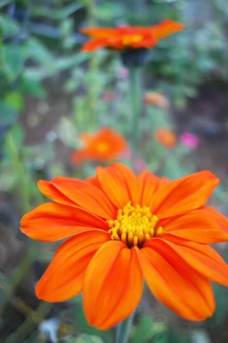 ■Myファーム便り【今菊祭り状態になり 花束にして皆さんにお届けしています♪】_b0033423_20522990.jpg