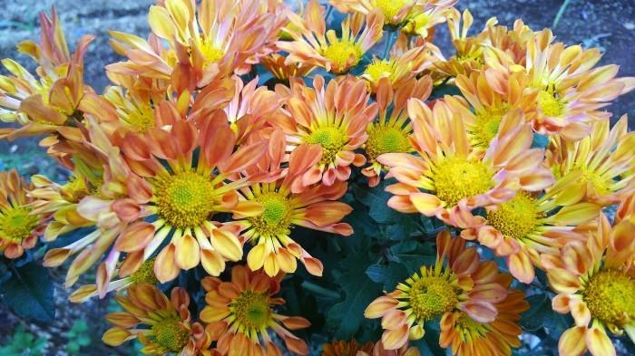 ■Myファーム便り【今菊祭り状態になり 花束にして皆さんにお届けしています♪】_b0033423_21162994.jpg