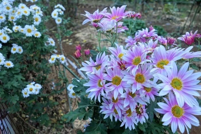 ■Myファーム便り【今菊祭り状態になり 花束にして皆さんにお届けしています♪】_b0033423_21180339.jpg