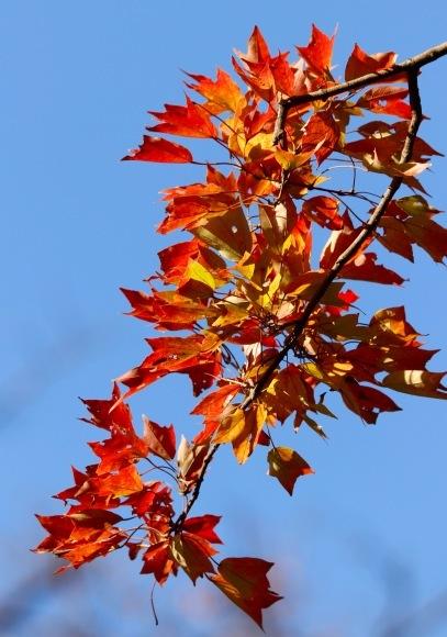 紅葉 。。。 ! !_a0248459_14234430.jpg