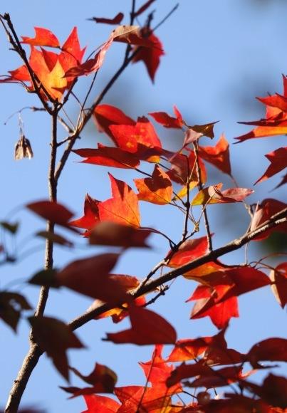 紅葉 。。。 ! !_a0248459_14253593.jpg