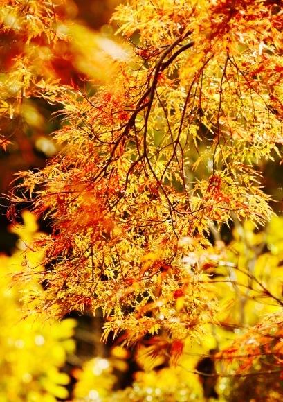 紅葉 。。。 ! !_a0248459_14300164.jpg