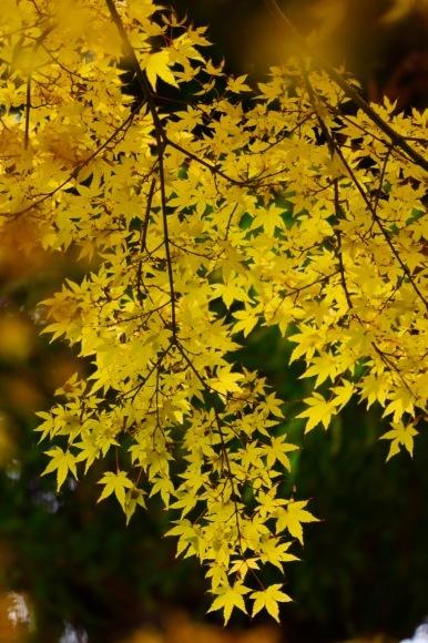 紅葉 。。。 ! !_a0248459_14332161.jpg