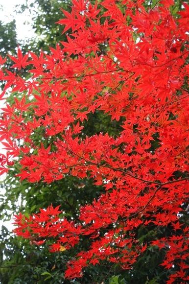 紅葉 。。。 ! !_a0248459_14380819.jpg