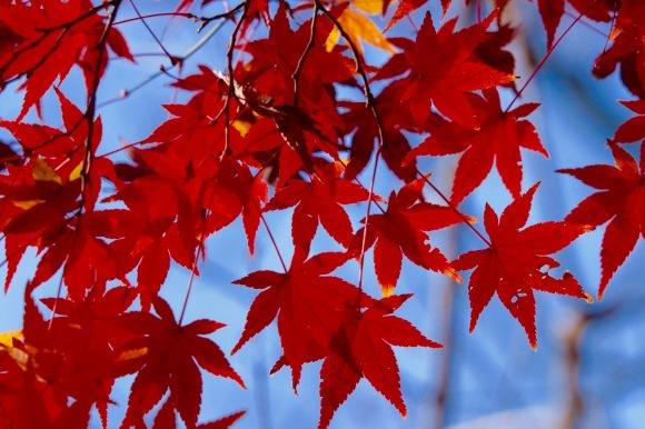 紅葉 。。。 ! !_a0248459_14391820.jpg