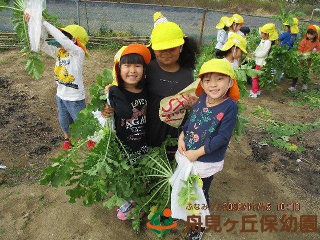 【ほし組】 大根の収穫 をしました!_f0367159_18482843.jpg